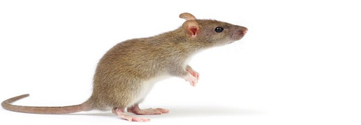 Rat Removal solutions